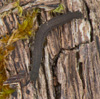 http://mczbase.mcz.harvard.edu/specimen_images/invertebrates/large/131433_Kumbadjena_1.jpg