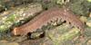 http://mczbase.mcz.harvard.edu/specimen_images/invertebrates/large/131434_Opisthopatus_kwazulandi_3.jpg
