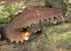 http://mczbase.mcz.harvard.edu/specimen_images/invertebrates/large/131434_Opisthopatus_kwazulandi_6.jpg