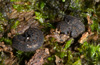 http://mczbase.mcz.harvard.edu/specimen_images/invertebrates/large/131435_Opisthopathus_highveldi_1.jpg