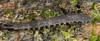 http://mczbase.mcz.harvard.edu/specimen_images/invertebrates/large/131435_Opisthopathus_highveldi_11.jpg