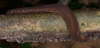 http://mczbase.mcz.harvard.edu/specimen_images/invertebrates/large/131441_Macroperipatus_30.jpg