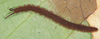 http://mczbase.mcz.harvard.edu/specimen_images/invertebrates/large/131442_Epiperipatus_13.jpg