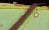 http://mczbase.mcz.harvard.edu/specimen_images/invertebrates/large/131442_Epiperipatus_26.jpg