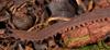 http://mczbase.mcz.harvard.edu/specimen_images/invertebrates/large/131442_Epiperipatus_5.jpg