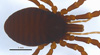 http://mczbase.mcz.harvard.edu/specimen_images/invertebrates/large/132273_Brasiliogovea_microphaga_2.jpg