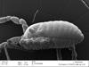 http://mczbase.mcz.harvard.edu/specimen_images/invertebrates/large/132273_Brasiliogovea_microphaga_29.jpg