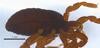 http://mczbase.mcz.harvard.edu/specimen_images/invertebrates/large/132273_Brasiliogovea_microphaga_3.jpg