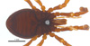 http://mczbase.mcz.harvard.edu/specimen_images/invertebrates/large/132273_Brasiliogovea_microphaga_4.jpg