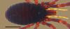 http://mczbase.mcz.harvard.edu/specimen_images/invertebrates/large/132273_Brasiliogovea_microphaga_5.jpg