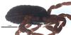 http://mczbase.mcz.harvard.edu/specimen_images/invertebrates/large/132273_Brasiliogovea_microphaga_6.jpg