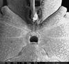 http://mczbase.mcz.harvard.edu/specimen_images/invertebrates/large/132276_Huitaca_boyacaensis_52.jpg