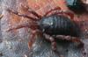 http://mczbase.mcz.harvard.edu/specimen_images/invertebrates/large/132276_Huitaca_boyacaensis_6.jpg
