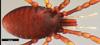http://mczbase.mcz.harvard.edu/specimen_images/invertebrates/large/132276_Huitaca_boyacaensis_8.jpg
