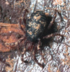 http://mczbase.mcz.harvard.edu/specimen_images/invertebrates/large/132283_Metagovea_1.jpg