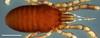 http://mczbase.mcz.harvard.edu/specimen_images/invertebrates/large/132301_Parogovia_preioi_1.jpg