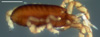 http://mczbase.mcz.harvard.edu/specimen_images/invertebrates/large/132301_Parogovia_preioi_2.jpg