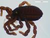 http://mczbase.mcz.harvard.edu/specimen_images/invertebrates/large/132304_Paragovia_sironoides_11.jpg