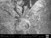 http://mczbase.mcz.harvard.edu/specimen_images/invertebrates/large/132304_Paragovia_sironoides_40.jpg