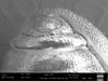 http://mczbase.mcz.harvard.edu/specimen_images/invertebrates/large/132304_Paragovia_sironoides_43.jpg