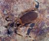 http://mczbase.mcz.harvard.edu/specimen_images/invertebrates/large/132366_Paramiopsalis_ramulosus_1.jpg