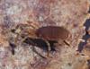 http://mczbase.mcz.harvard.edu/specimen_images/invertebrates/large/132366_Paramiopsalis_ramulosus_2.jpg