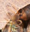 http://mczbase.mcz.harvard.edu/specimen_images/invertebrates/large/132370_Paramiopsalis_ramulosus_13.jpg