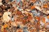 http://mczbase.mcz.harvard.edu/specimen_images/invertebrates/large/132370_Paramiopsalis_ramulosus_15.jpg