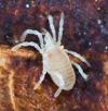 http://mczbase.mcz.harvard.edu/specimen_images/invertebrates/large/132370_Paramiopsalis_ramulosus_6.jpg