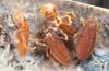 http://mczbase.mcz.harvard.edu/specimen_images/invertebrates/large/132373_Parasiro_coiffaiti_2.jpg