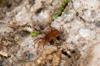 http://mczbase.mcz.harvard.edu/specimen_images/invertebrates/large/132375_Parasiro_minor_9.jpg