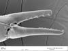 http://mczbase.mcz.harvard.edu/specimen_images/invertebrates/large/132380_Microgovia_oviformis_3.jpg