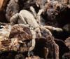 http://mczbase.mcz.harvard.edu/specimen_images/invertebrates/large/132406_Anelasmocephalus_cambridgei_2.jpg