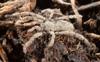http://mczbase.mcz.harvard.edu/specimen_images/invertebrates/large/132406_Anelasmocephalus_cambridgei_4.jpg