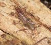http://mczbase.mcz.harvard.edu/specimen_images/invertebrates/large/132976_Ovozomus_peradeniyensis_3.jpg