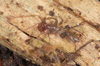 http://mczbase.mcz.harvard.edu/specimen_images/invertebrates/large/132976_Ovozomus_peradeniyensis_5.jpg
