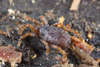 http://mczbase.mcz.harvard.edu/specimen_images/invertebrates/large/133238_Rakaia_stewartiensis_12.jpg