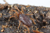 http://mczbase.mcz.harvard.edu/specimen_images/invertebrates/large/133238_Rakaia_stewartiensis_7.jpg