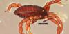 http://mczbase.mcz.harvard.edu/specimen_images/invertebrates/large/133769_Huitaca_bitaco_2.jpg