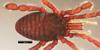 http://mczbase.mcz.harvard.edu/specimen_images/invertebrates/large/133769_Huitaca_bitaco_4.jpg