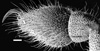 http://mczbase.mcz.harvard.edu/specimen_images/invertebrates/large/133772_Huitaca_sharkeyi_19.jpg