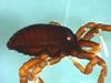 http://mczbase.mcz.harvard.edu/specimen_images/invertebrates/large/133772_Huitaca_sharkeyi_52.jpg