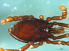 http://mczbase.mcz.harvard.edu/specimen_images/invertebrates/large/133772_Huitaca_sharkeyi_56.jpg
