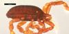http://mczbase.mcz.harvard.edu/specimen_images/invertebrates/large/133787_Metagovea_planada_2.jpg