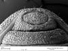 http://mczbase.mcz.harvard.edu/specimen_images/invertebrates/large/133814_Neogovea_hormigai_5.jpg