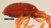 http://mczbase.mcz.harvard.edu/specimen_images/invertebrates/large/133833_Metagovea_planada_2.jpg