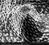 http://mczbase.mcz.harvard.edu/specimen_images/invertebrates/large/134574_Rakaia_collaris_19.jpg