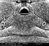 Media of type image, MCZ:IZ:134641 Identified as Aoraki inerma.