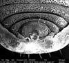 http://mczbase.mcz.harvard.edu/specimen_images/invertebrates/large/134641_Aoraki_interma_24.jpg
