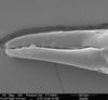 http://mczbase.mcz.harvard.edu/specimen_images/invertebrates/large/134644_Aoraki_denticulata_major_1.jpg